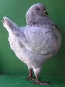Galambjaim 2007